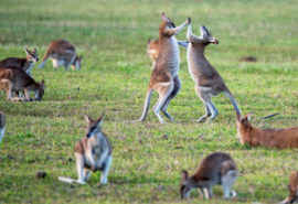 Kangaroos in a field